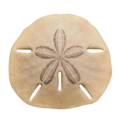 Sand Dollar Discovery Classic Accents Pack of 36  -