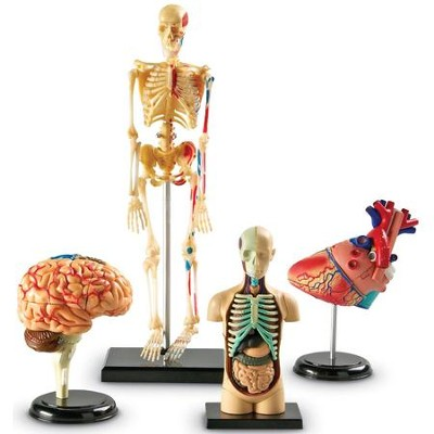 Anatomy Models Bundle Set (4 Pieces)   -
