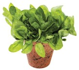Grow You Own Organic Veggies, Spinach