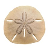 Sand Dollar Discovery Classic Accents Pack of 36
