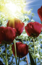 Red Tulips Bulletins, 100