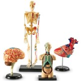 Anatomy Models Bundle Set (4 Pieces)