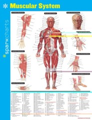 Muscular System SparkCharts