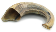 Ram's Horn Shofar, 12 In. to 15 In.  -