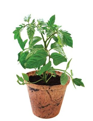 Grow Your Own Organic Veggies, Tomato   -