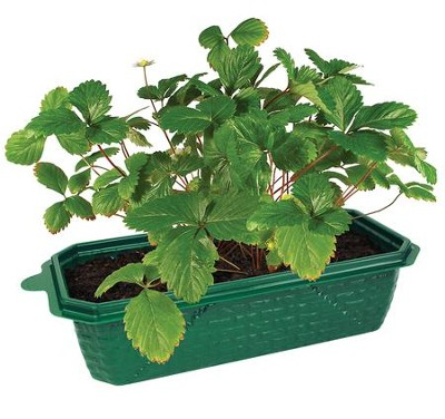 Grow Your Own Strawberries  -