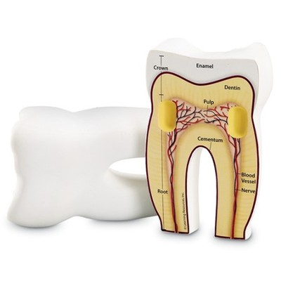 Cross-Section Tooth Model  -