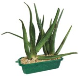 Sprout 'n Grow: Always Aloe