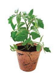 Grow Your Own Organic Veggies, Tomato