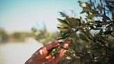 Relishing the Olive and Its Oil [Video Download]
